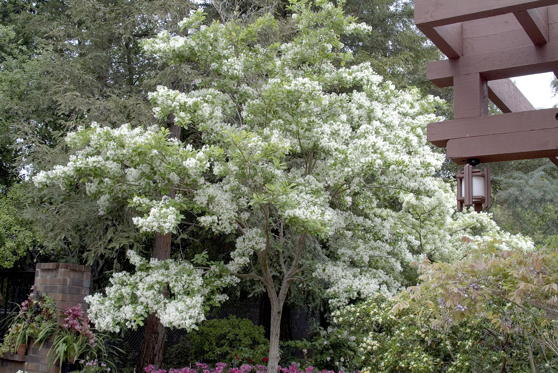 White Fringe Tree Monrovia White Fringe Tree