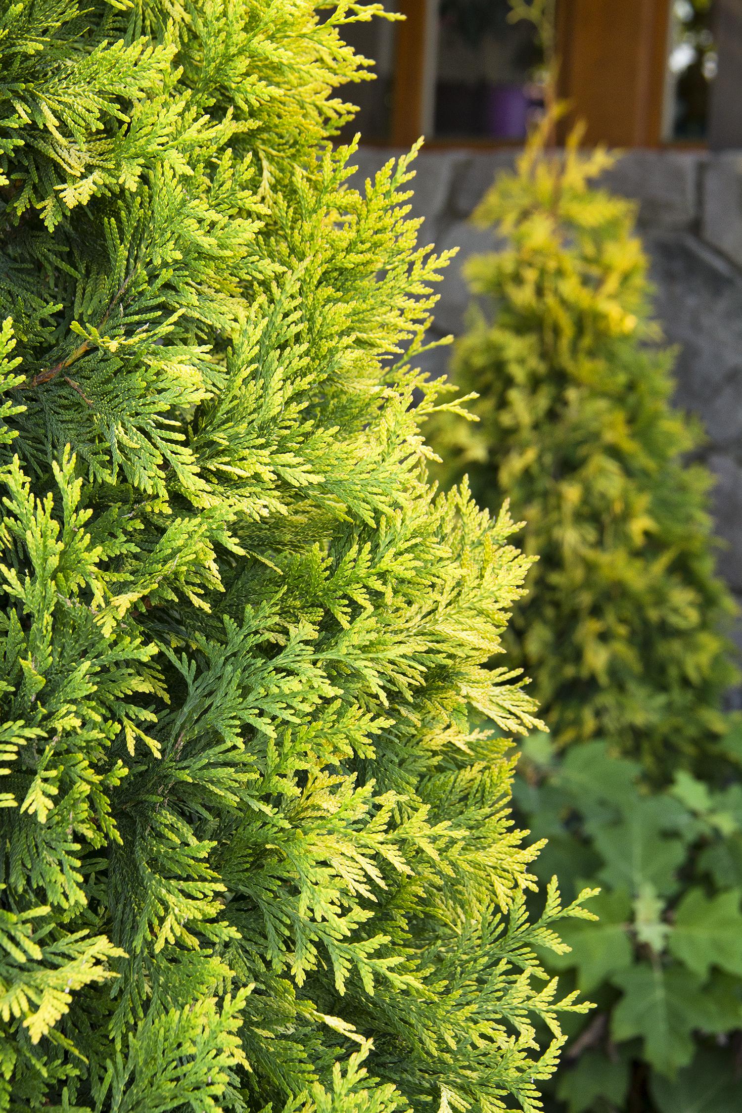 Planting Arborvitae In Fall   Tyres2c