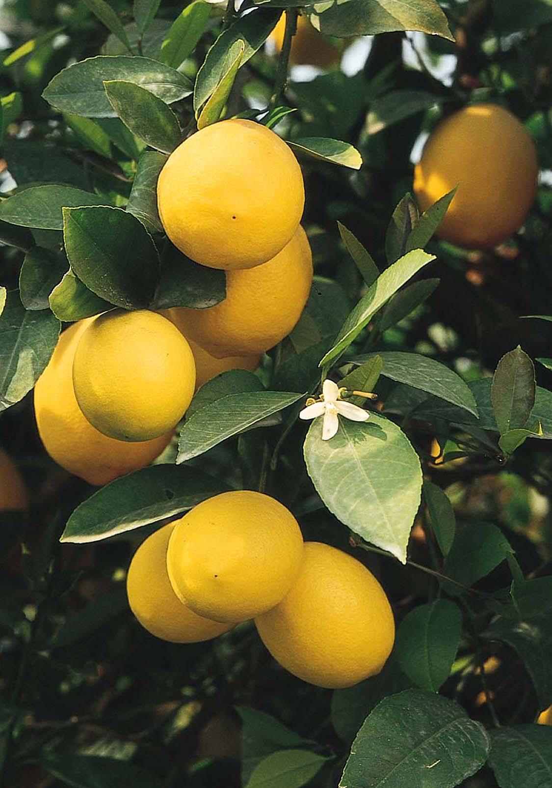 Improved Meyer Lemon Monrovia