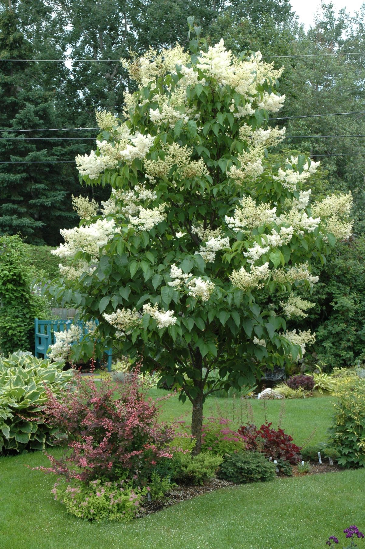 Ivory Silk Japanese Tree Lilac Monrovia Ivory Silk Japanese