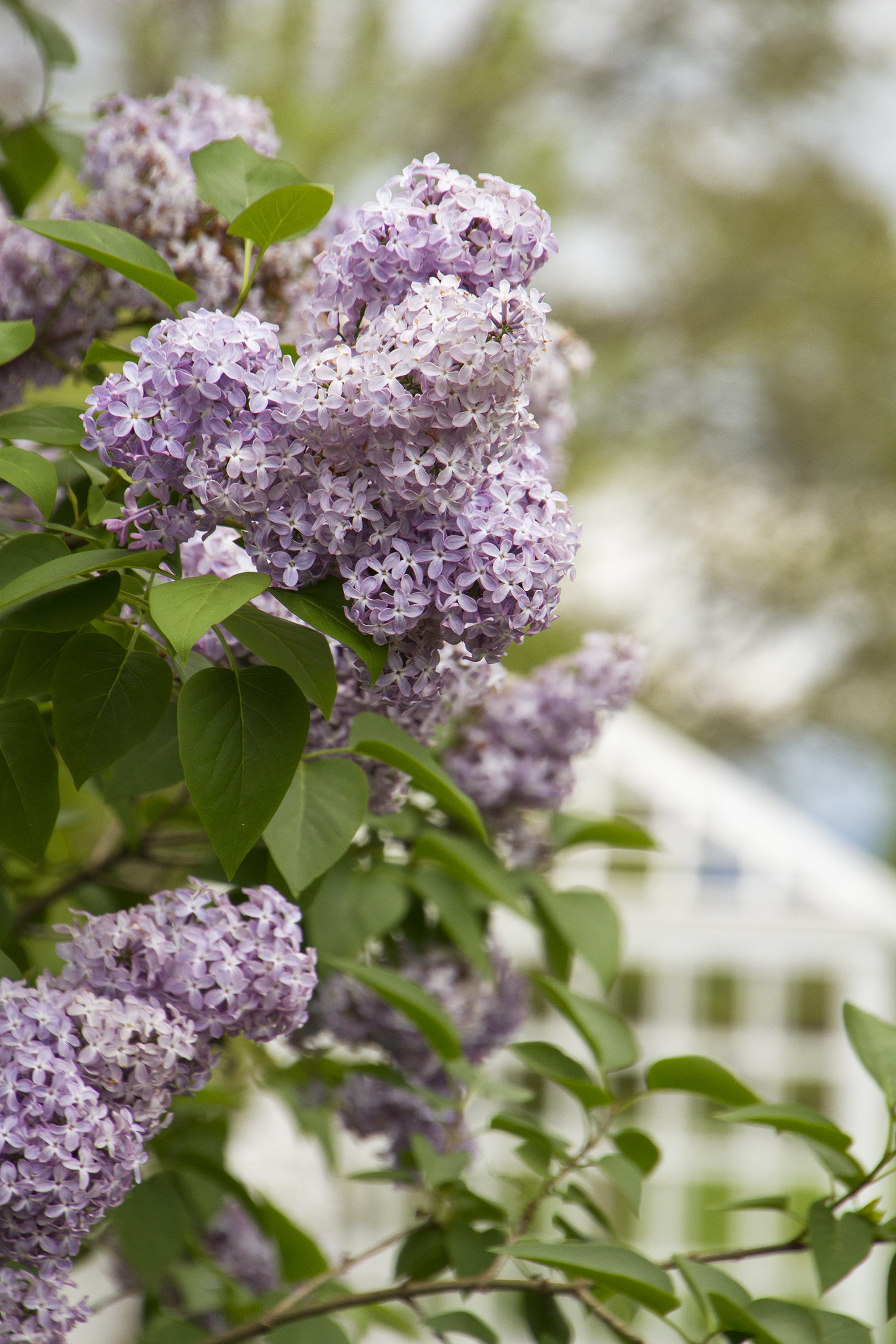 Common Purple Lilac Monrovia Common Purple Lilac
