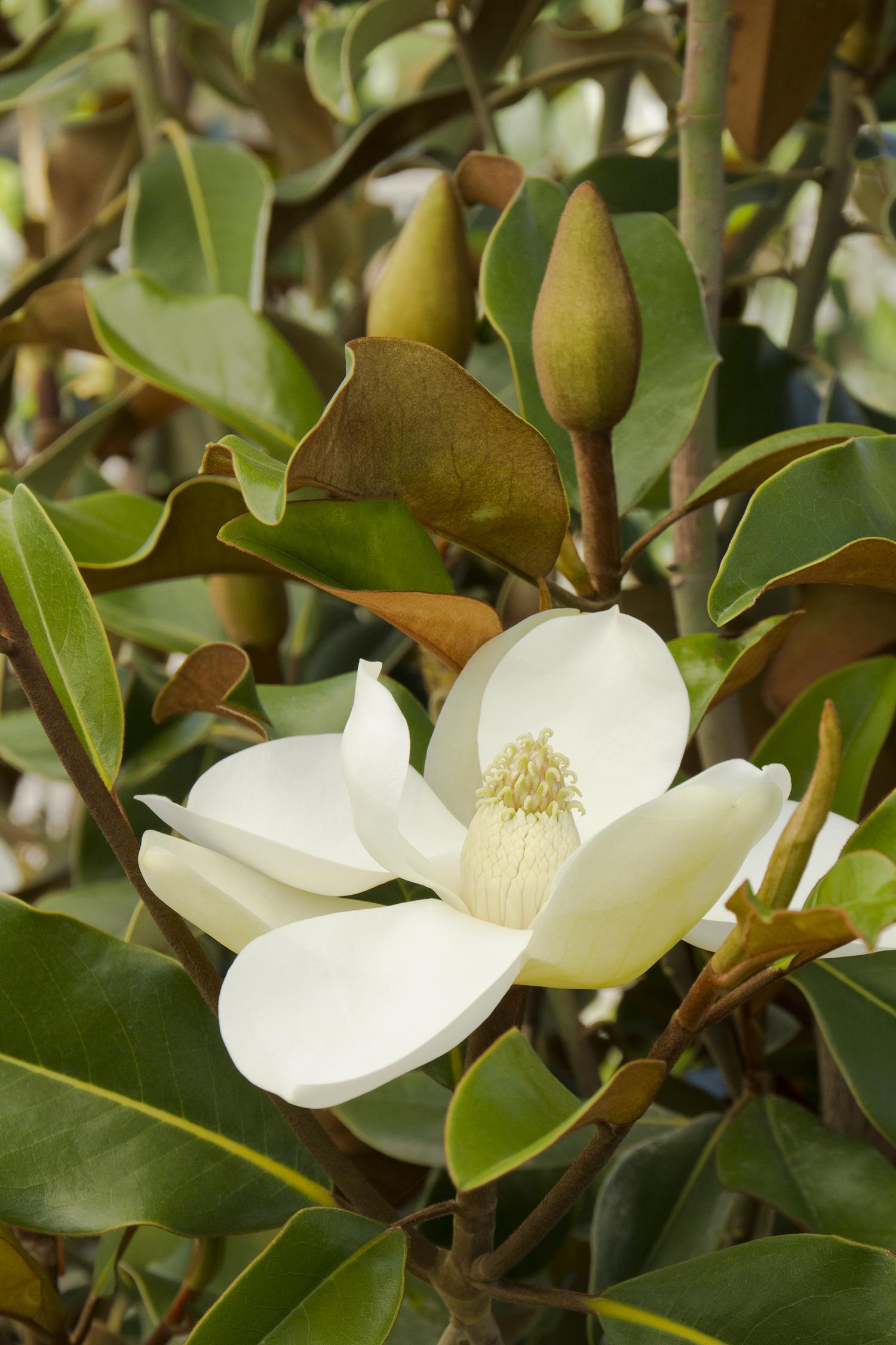 Bracken S Brown Beauty Magnolia Monrovia Bracken S Brown
