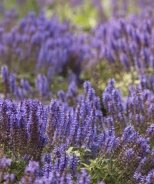 Sensation Sky Blue Meadow Sage