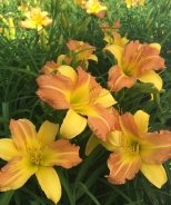 EveryDaylily® Yellow Punch Daylily