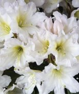 Scent-Sational™ White Rhododendron