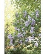 Blue Skies® Lilac