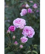 Sweet Drift® Groundcover Rose