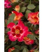 Sweet Spot™ Calypso Rose