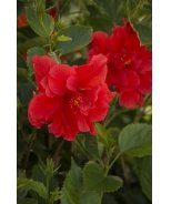 Red Dragon® Hibiscus