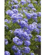 Royal Cape® Plumbago