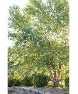 Heritage® River Birch (Multi-Branch)