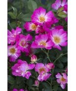 Pink Drift® Groundcover Rose