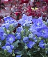 Sentimental Blue Balloon Flower