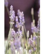 Silver Edge Variegated Lavender