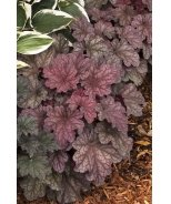 Berry Smoothie Heuchera