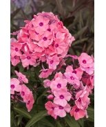 Candy Store® Coral Crème Drop Garden Phlox