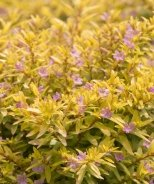 Riverdene Gold False Heather