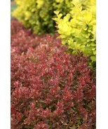 Golden Ruby® Barberry