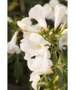 White Bower Vine