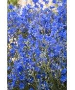 Morpho Grand Blue Delphinium