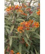Red Butterflies Milkweed