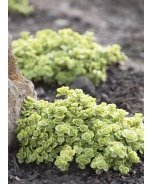 Limelight Japanese Stonecrop