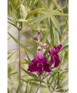 Sweet Katie Burgundy Desert Willow