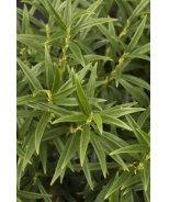 Hook Lance Leaf Sarcococca