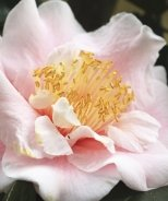Moonlight Bay Camellia