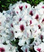 Miyama™ Picobello Rhododendron