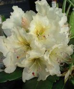 New Century Rhododendron