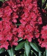 Trocadero Rhododendron