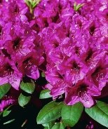 Miyama™ Mendosina Rhododendron