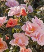 Honey Nectar™ Grandiflora Rose