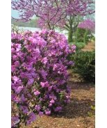 Abbey's Re-View® Rhododendron