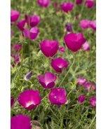 Purple Poppymallow