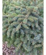 Dwarf Alcock Spruce