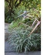 Silver Dragon Lilyturf