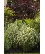 Cabaret Japanese Silver Grass