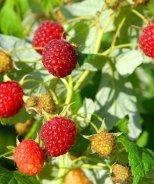 Rubus Heritage Raspberry