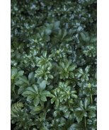 Green Sheen Japanese Spurge