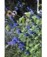 Black & Blue Salvia