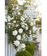 White Iceberg Shrub Rose