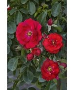 Flower Carpet® Scarlet Groundcover Rose
