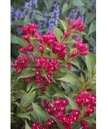 Crimson Kisses® Weigela