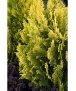 Yvonne Port Orford Cedar - The Guardian® Series