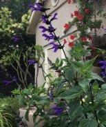 BODACIOUS™ Rhythm & Blues Salvia