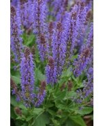 Sallyrosa™ April Night Meadow Sage
