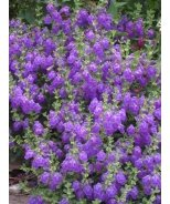 Dark Violet Hybrid Skullcap