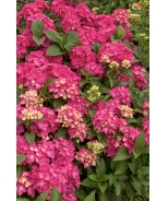 Pink Elf® French Hydrangea